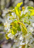 Blossoming branch of a plum tree in the orchard, macro Stock Image