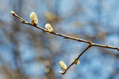 Blossoming branch of pussy willow tree Stock Image