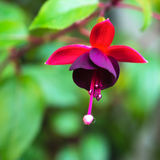 Blossoming branch red and dark-cherry fuchsia in nature Stock Photos