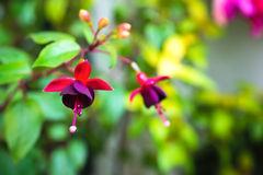Blossoming branch red and dark-cherry fuchsia in nature Royalty Free Stock Photos