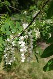 Blossoming branch of Robinia in spring. Blossoming branch of Robinia pseudoacacia in spring Stock Photos