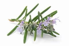 Blossoming branch of rosemary Royalty Free Stock Photos