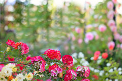 Blossoming branch of roses Stock Photos