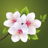Blossoming branch of sakura - cherry tree. Blossoming branch of Japanese cherry tree sakura. Beautiful cherry blossom white,  on green background. Vector Royalty Free Stock Photography