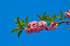 Blossoming branch of sakura Stock Images