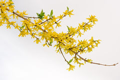 Blossoming branch of sea-buckthorn Stock Photos