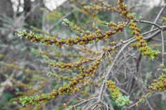 Blossoming branch of sea-buckthorn Royalty Free Stock Images