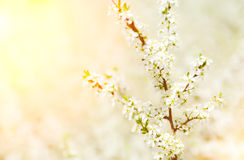 Blossoming branch. Small white flowers on branches Royalty Free Stock Photos