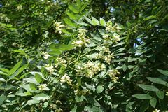 Blossoming branch of Sophora japonica in July. Blossoming branch of Sophora japonica in mid July stock photography