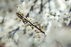 Blossoming Spring branch Royalty Free Stock Images