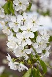 Blossoming branch of a sweet cherry Royalty Free Stock Photo