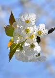 Blossoming branch of sweet cherry Royalty Free Stock Photography