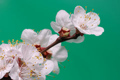 Blossoming branch of a tree Royalty Free Stock Photos