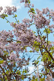 Blossoming branch of tree Paulownia. Royalty Free Stock Images