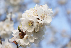 Blossoming branch with white flowers against the sky stock image