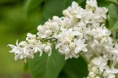 Blossoming branch of a white lilac Royalty Free Stock Photos