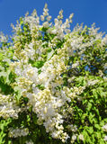 Blossoming branch of a white lilac close-up. Natural background made of white lilac flowers and blue sky Stock Image
