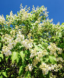 Blossoming branch of a white lilac close-up. Natural background made of white lilac flowers and blue sky Royalty Free Stock Images