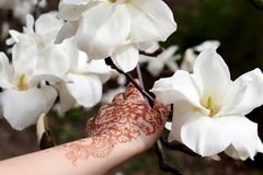 Blossoming branch of a white magnolia, close up Stock Photo