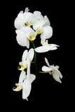 Blossoming branch of white orchids on black background close up Stock Image