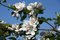 Blossoming branches of an apple tree. Royalty Free Stock Images