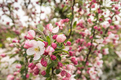 Blossoming branches of an apple tree Stock Photos