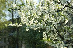 Blossoming branches of an apple tree royalty free stock photography
