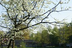 Blossoming branches of an apple tree royalty free stock images