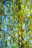 Blossoming branches of a birch in the spring. Against the blue sky royalty free stock photos