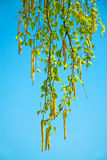 Blossoming branches of a birch in the spring. Against the blue sky stock image