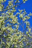Blossoming branches on blue. Spring shrub of fluffy catkins Stock Image