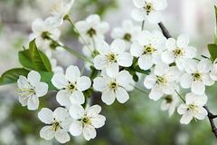 Blossoming branches of cherry Royalty Free Stock Photos