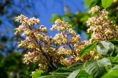 Blossoming branches of chestnut tree Aesculus hippocastanum Royalty Free Stock Images