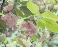 Blossoming branches of Japanese cherry. Pink flowers background. Vintage toned photo. Blossoming branches of Japanese cherry. Beautiful pink flowers background stock image