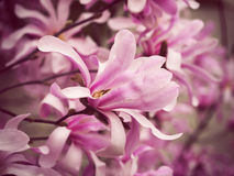 Blossoming branches of magnolia, pink flowers Stock Images