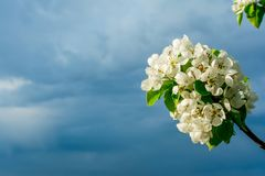 Blossoming branches of a pear tree with young green leaves against the backdrop of a stormy sky in the corner of the frame, copy stock photography