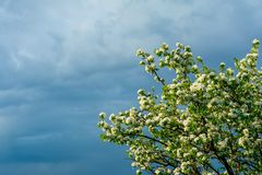 Blossoming branches of a pear tree with young green leaves against the backdrop of a stormy sky in the corner of the frame, copy stock photos