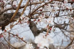 The blossoming branches in the spring apricots and the bee collecting nectar. royalty free stock photos