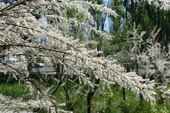 Blossoming branches of Tamarix ramosissima royalty free stock images