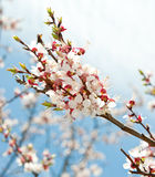 Blossoming branches of a tree Stock Images