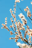 Blossoming branches of a tree Royalty Free Stock Image