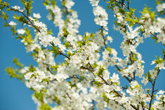 Blossoming branches of a tree Royalty Free Stock Photography