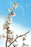 Blossoming branches of a tree Royalty Free Stock Photos