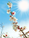 Blossoming branches of a tree with sun beam Royalty Free Stock Photography