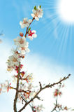 Blossoming branches of a tree with sun beam Stock Photos
