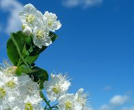Blossoming brunch on a blue sky stock photography