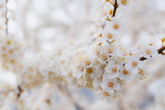Blossoming brunch of cherry plum with flowers in beautiful light. On blurry background Royalty Free Stock Photography