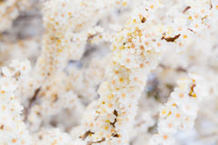 Blossoming brunch of cherry plum with flowers in beautiful light Royalty Free Stock Photo