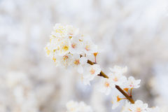 Blossoming brunch of cherry plum with flowers in beautiful light. On blurry background Royalty Free Stock Photos