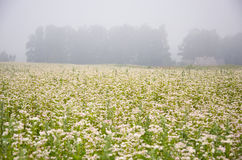 Blossoming Buckwheat Field And Summer Morning Fog Royalty Free Stock Photos
